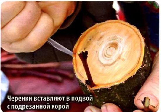 Как привить плодовые деревья
