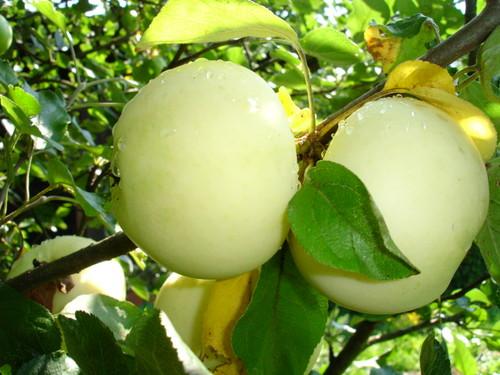 Яблоки сорт белый налив