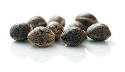 Где приобрести семена конопли в Украине?