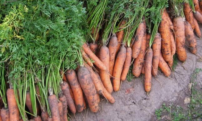 Весенняя посадка моркови: соблюдаем правила