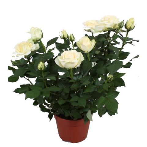 комнатная белая роза
