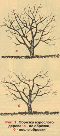 Обрезка плодоносящих и запущенных деревьев