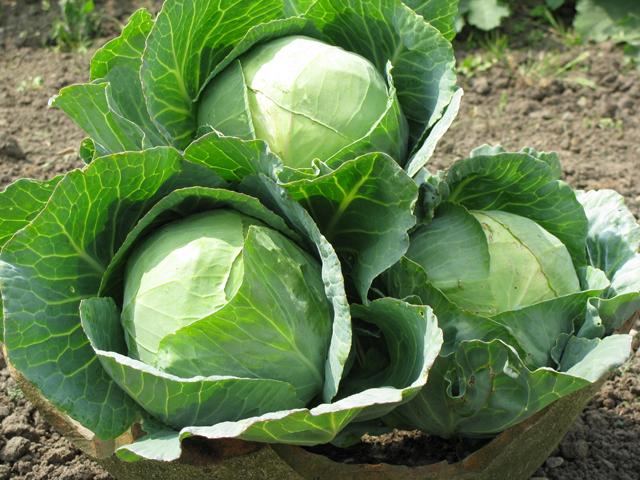 Секреты выращивания вкусной капусты