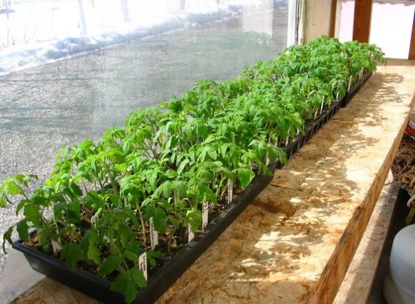 Близко посаженные ростки томатов