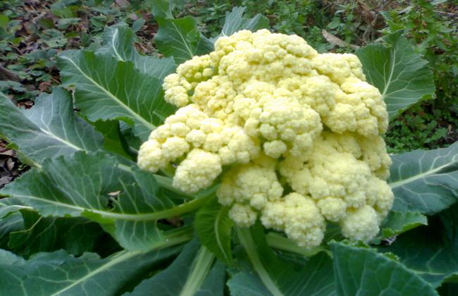 Рекомендации по выращиванию цветной капусты