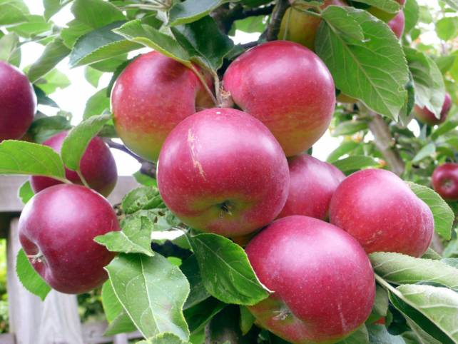 Как повысить урожайность яблони
