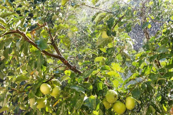 Яблони можно поливать тремя способами
