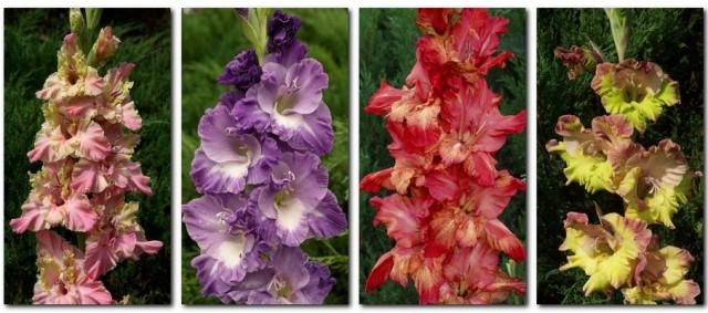 7 секретов выращивания роскошных гладиолусов