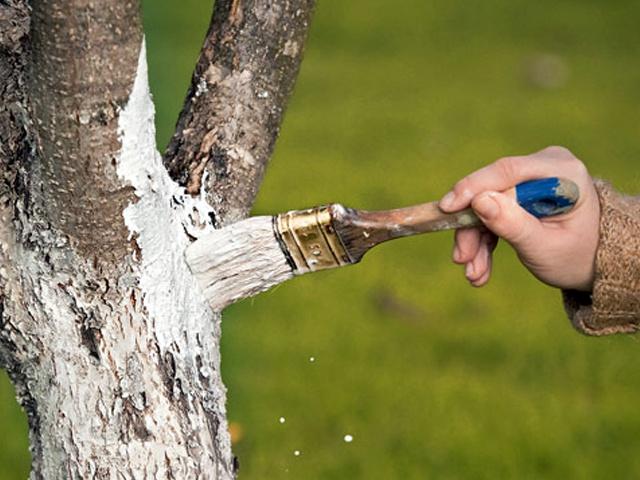 Побелка деревьев железным купоросом