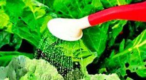 Как поливать молодую капусту?