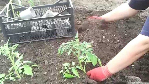 Способ посадки переросшей рассады помидоров
