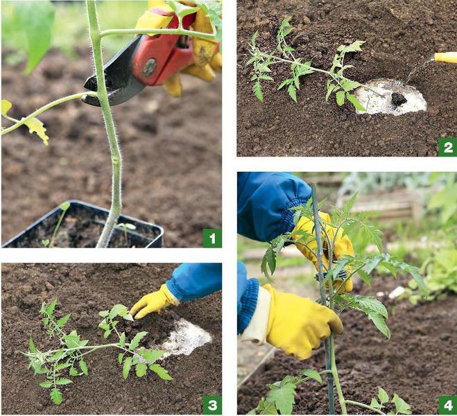 Посадка переросшей рассады томатов