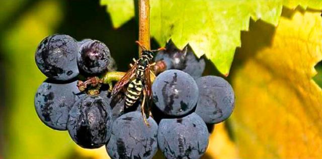 Как отпугнуть ос от винограда?