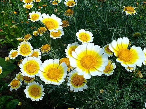 Овощная хризантема выращивание 8