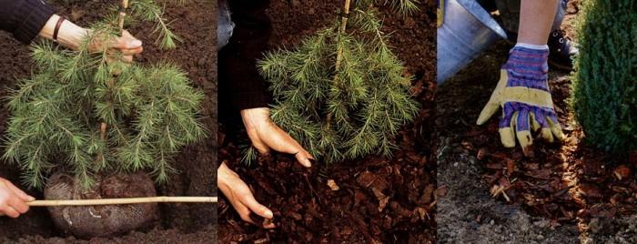 Посадка хвойных растений фото