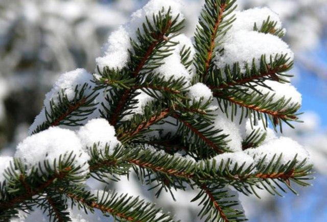 Уход за хвойными в зимнее время