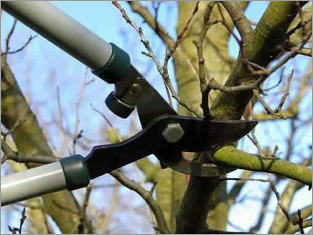 Два вида обрезки плодовых деревьев - прореживание и укорачивание