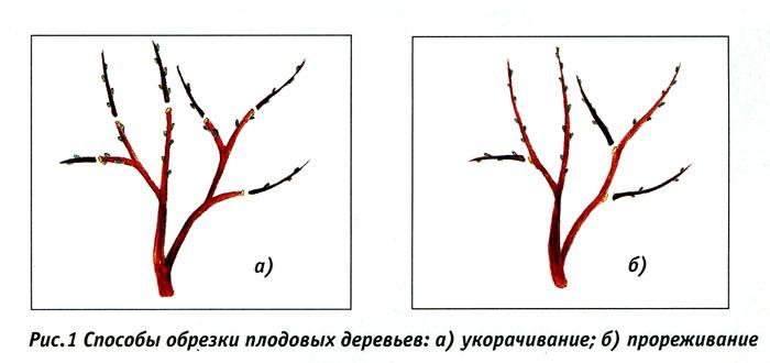 обрезка плодовых деревьев - прореживание и укорачивание