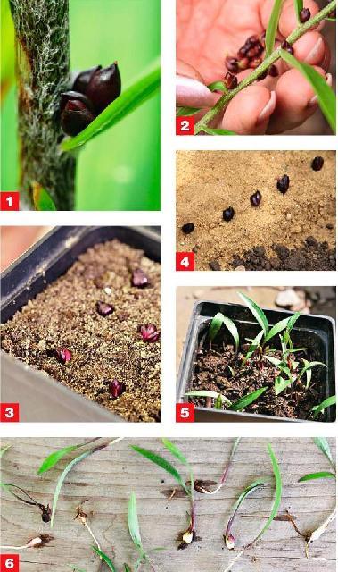 Выращивание лилий 64