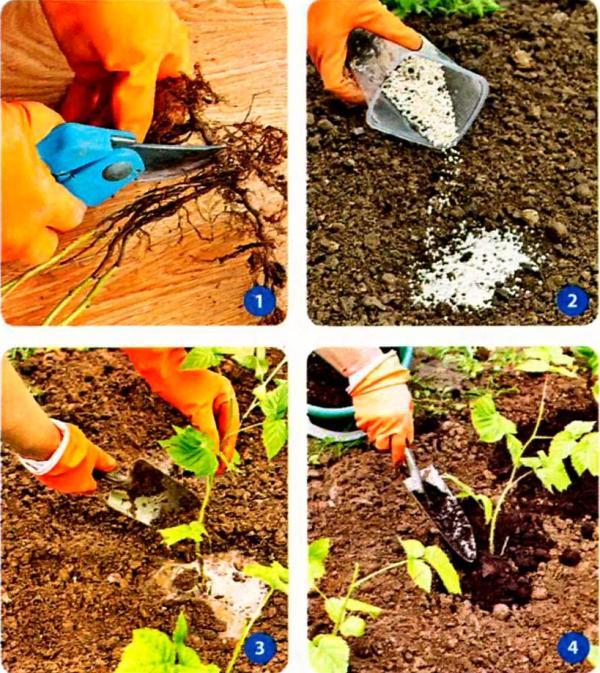 Как размножить малину «крапивной» (корневыми отпрысками)