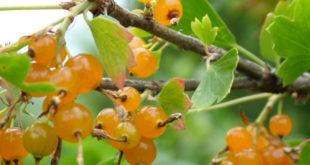 Смородина с солнечными ягодами