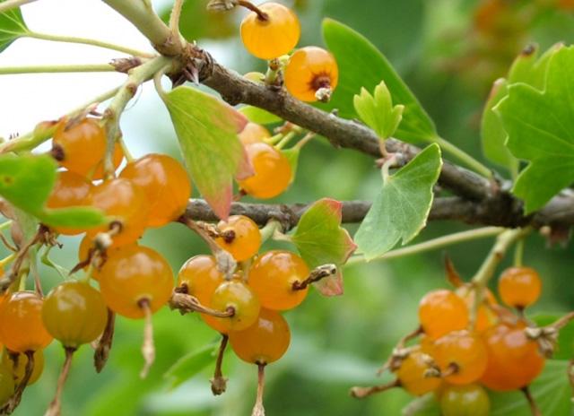 Золотистая смородина с солнечными ягодами
