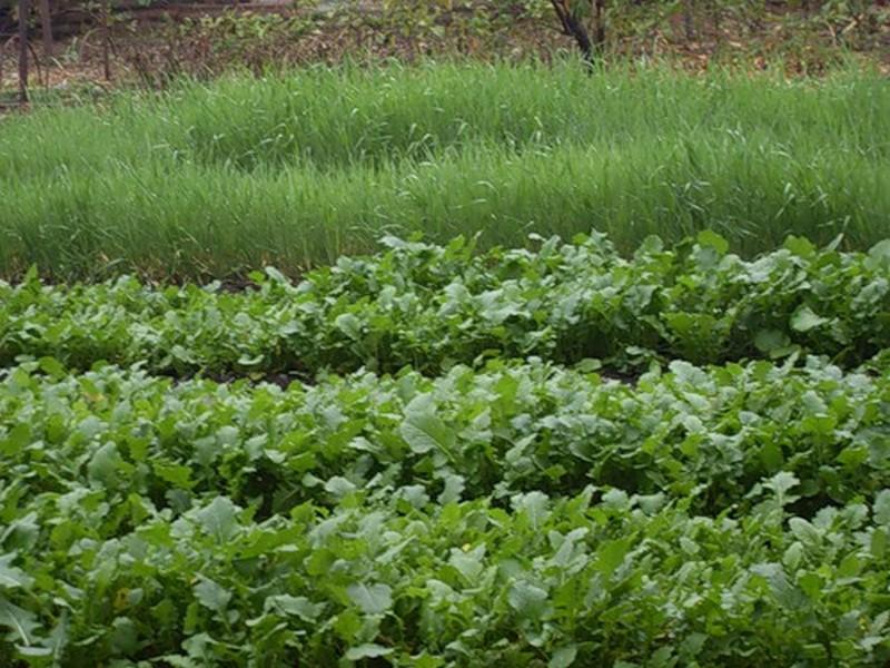 Зеленые удобрения - сидераты