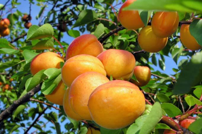 6 абрикосовых правил
