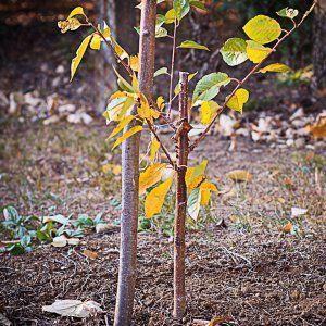Сажать ли деревья осенью