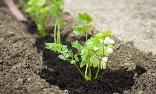 Подзимний посев ароматной зелени