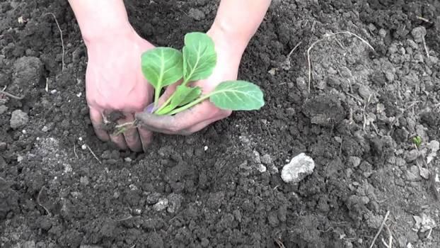 Посадка цветной капусты