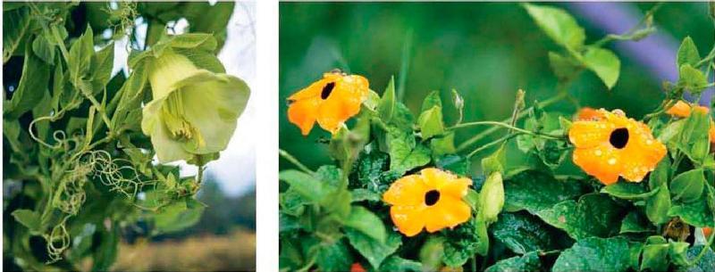 Лианы, которые нужно сеять на рассаду