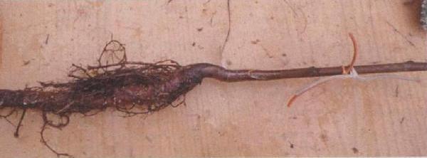 Зимняя прививка грецкого ореха