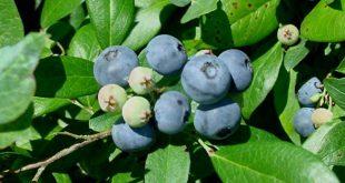 Голубика высокорослая: особенности ее выращивания