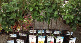 как купить саженец плодовых деревьев