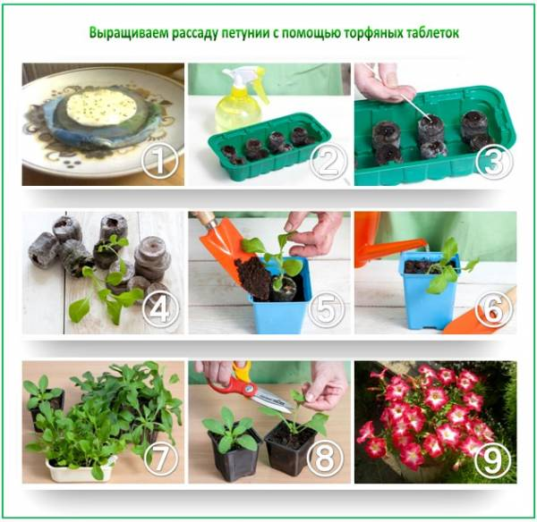 Способ посадки петунии в торфяные таблетки