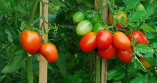 способы выращивания помидор без фитофторы