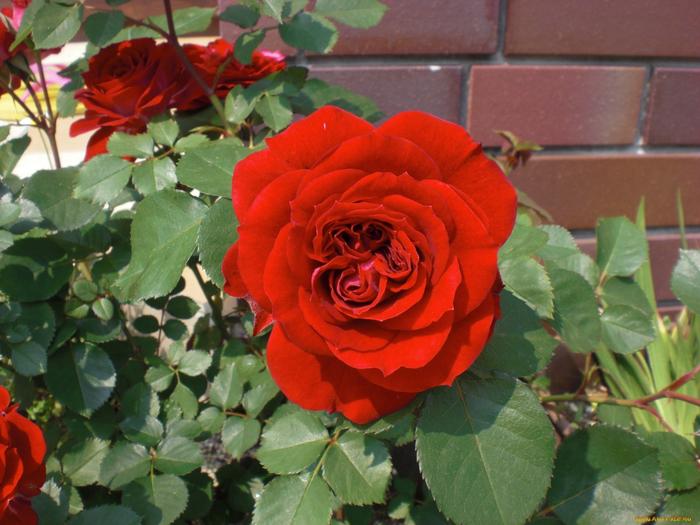 Размножения роз делением, отводками и отпрысками