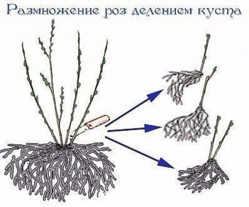 Размножения роз делением куста