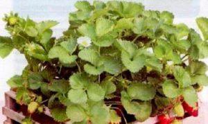 Выращивание клубники в ящиках из-под фруктов