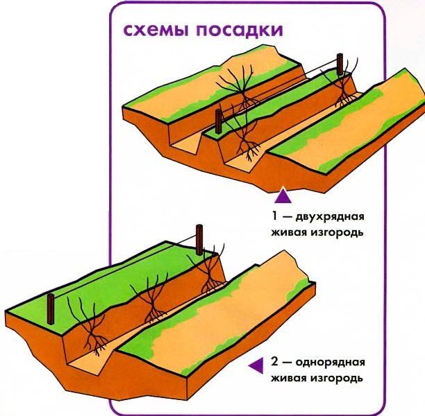 Схемы посадки живой изгороди