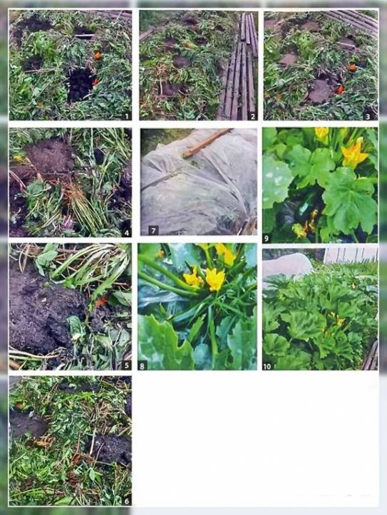 Способ выращивания кабачков на целине