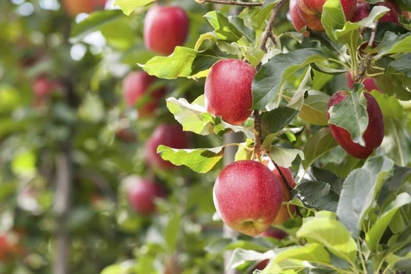 Какую яблоню посадить на участке