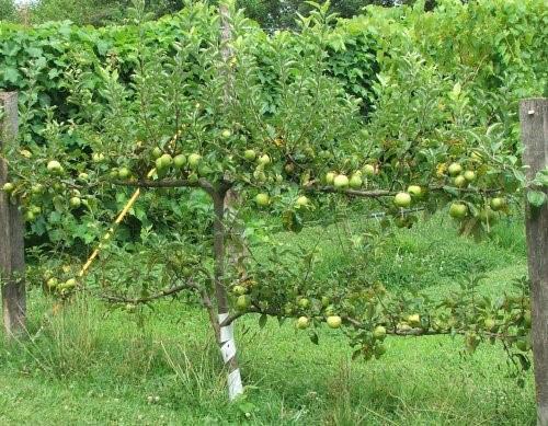Яблоня на шпалере