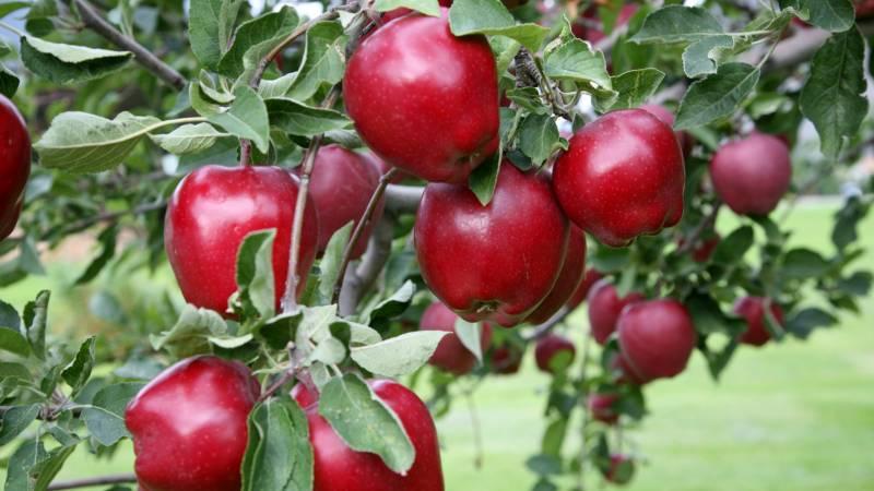 Яблоня Red Delicious