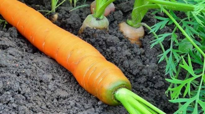 Почему, зеленеет морковь