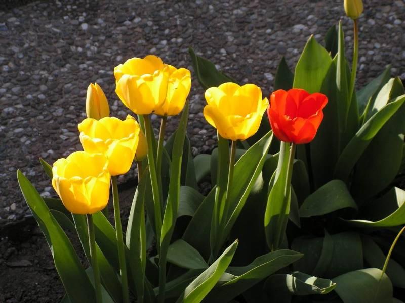 Весенняя посадка тюльпанов в грунт: как это сделать правильно