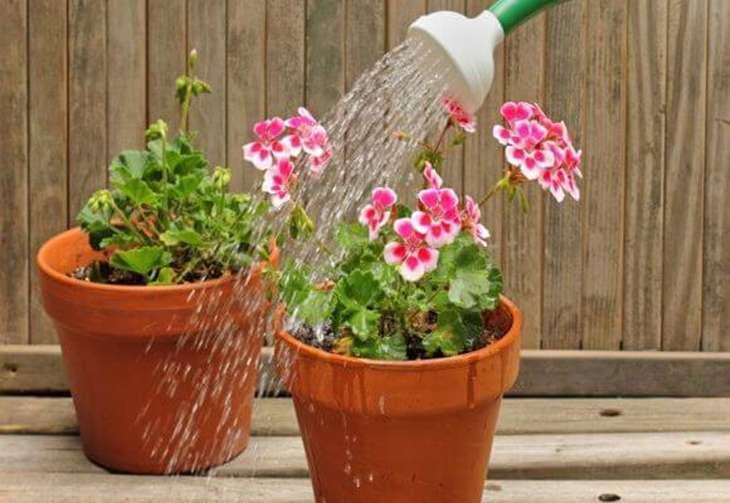 Как поливать цветы пеларгонии (герани) правильно