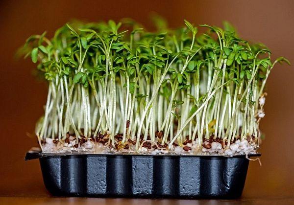 Как посадить и вырастить кресс-салат, кочанный и листовой салат