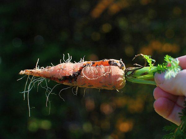 Почему морковь лопается в земле